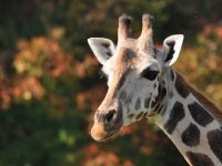 FTA project focused on behaviour of giraffes