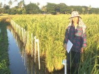 Aye Aye Thant doing a field experiment in Myanmar. She is characterizing phenotypic variation among 117 rice genotypes.